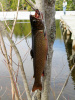 "15"" Spring Brook Trout"
